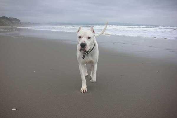 гладкошерстные породы собак, маленьких размеров,для квартир,среднего размера