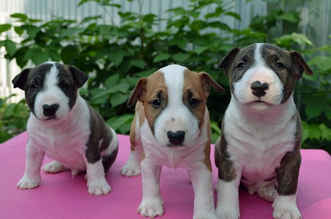 гладкошерстные-породы-собак-Бультерьер