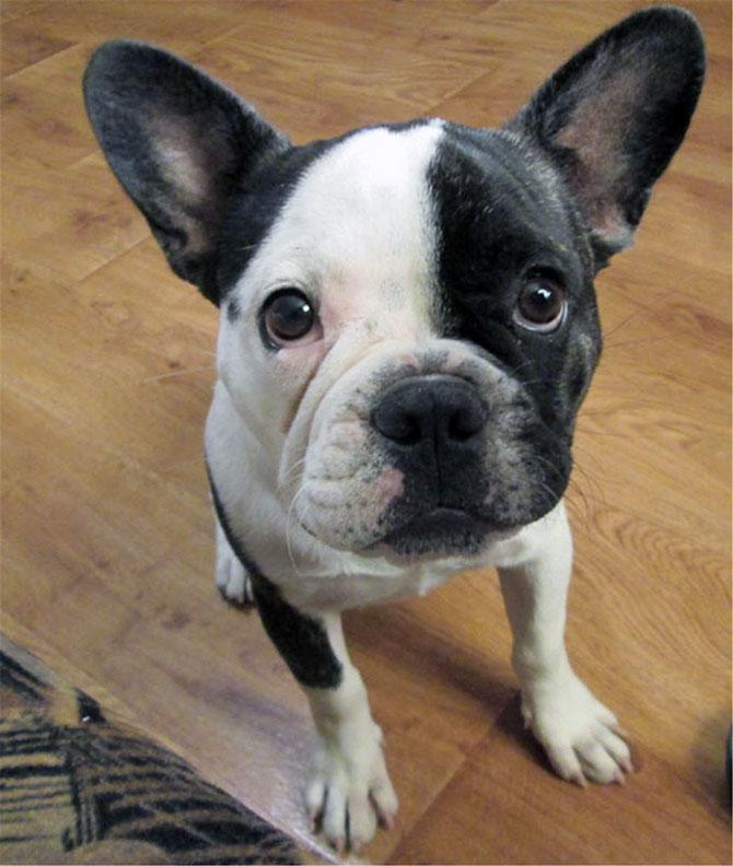 гладкошерстные-породы-собак-Французский-бульдог