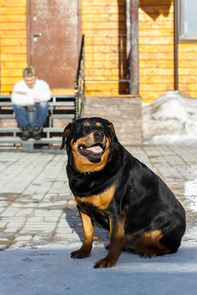 гладкошерстные-породы-собак-Ротвейлер