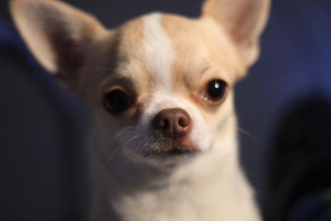 гладкошерстные-породы-собак-чихуахуа