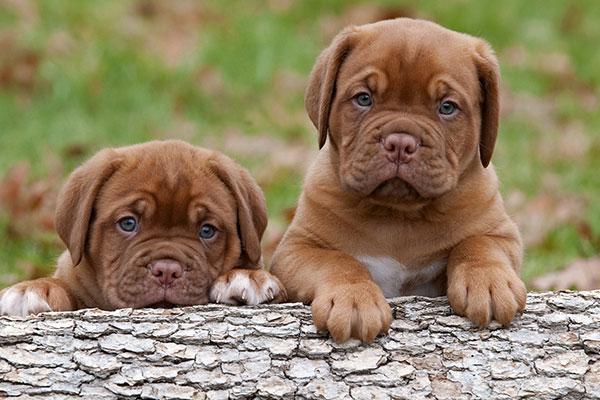 имена для собак мальчиков,овчарок, йоркширскому терьеру,хаски