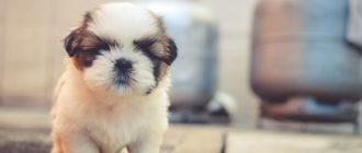 викторина какой щенок