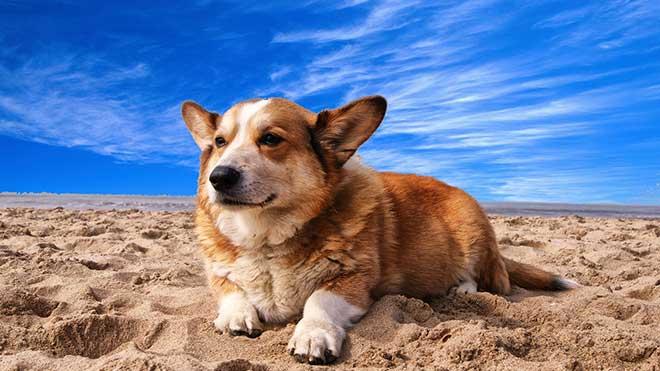 Корги порода собак