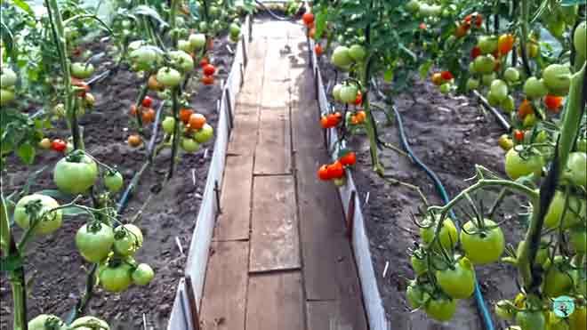 помидор это овощ или ягода